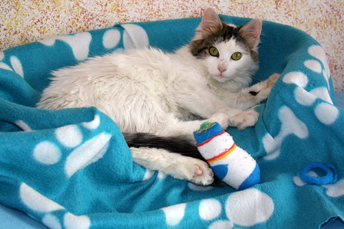 Neus, gata blanca cruce Van Turco pelo largo nacida en Julio´13 en adopción. Valencia. ADOPTADA. 12028177663_6ccfbec906