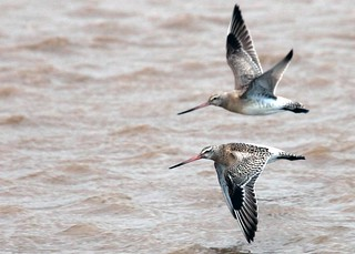 Duo of Bar Tailed Godwits in flight