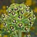 Euphorbia characias ©Sinkha63