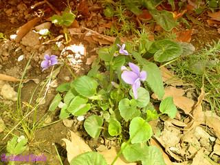 mes violettes !