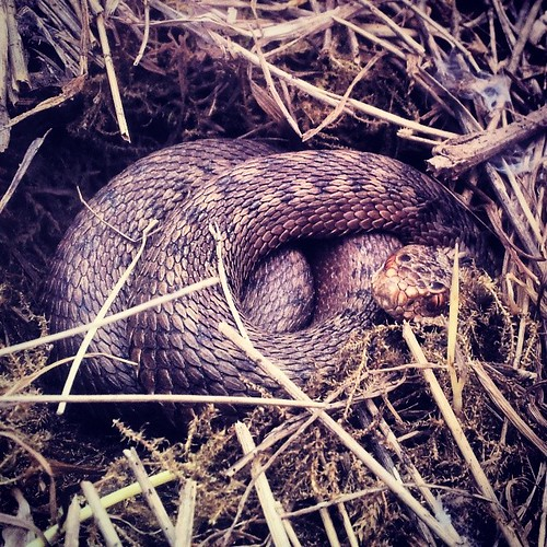 Female #adder