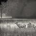 Elk - Cataloochee_ Smoky Mountain NP by nailbender