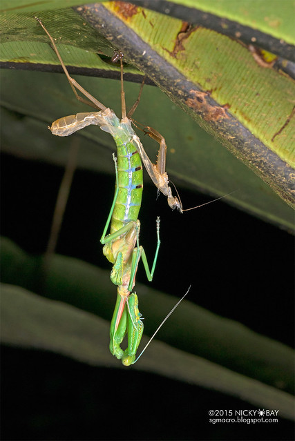 Mantis moulting (Hierodula sp.) - DSC_3913