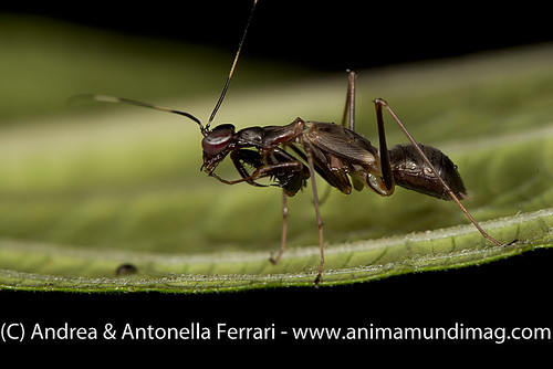 reefwondersdotnet posted a photo:	Ant-mimic Praying mantis, possibly Odontomantis sp., Singharaja NP, Sri Lanka