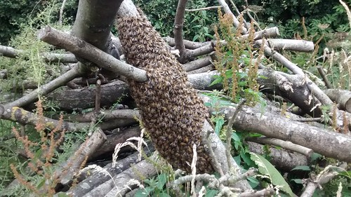 bee swarm July 15 3