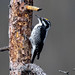 Small photo of American Three-toed Woodpecker (Picoides dorsalis)