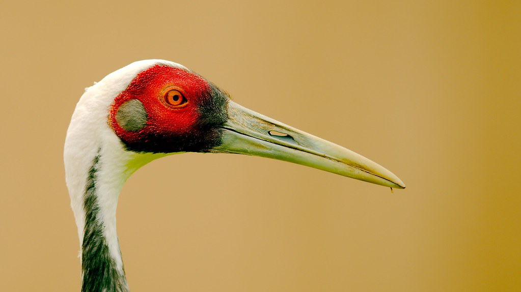 White-naped Crane (Grus vipio)_3
