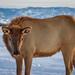 Sheridan Elk