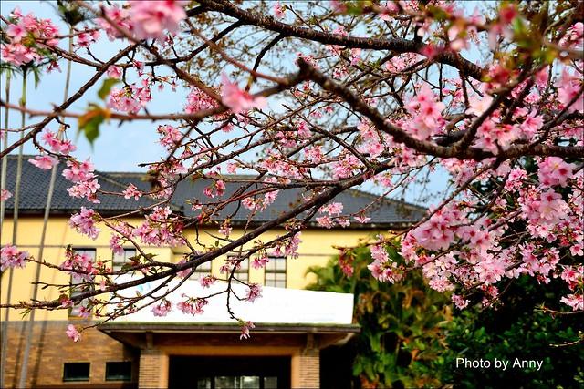 麗池櫻花7