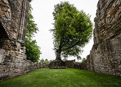 The Beech Tree - Bayham Abbey