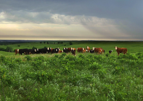 landscape cattle farm pasture kansas