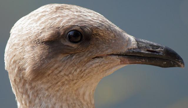 Female seagull - photo#24