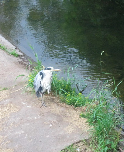 Heron in Allan Water