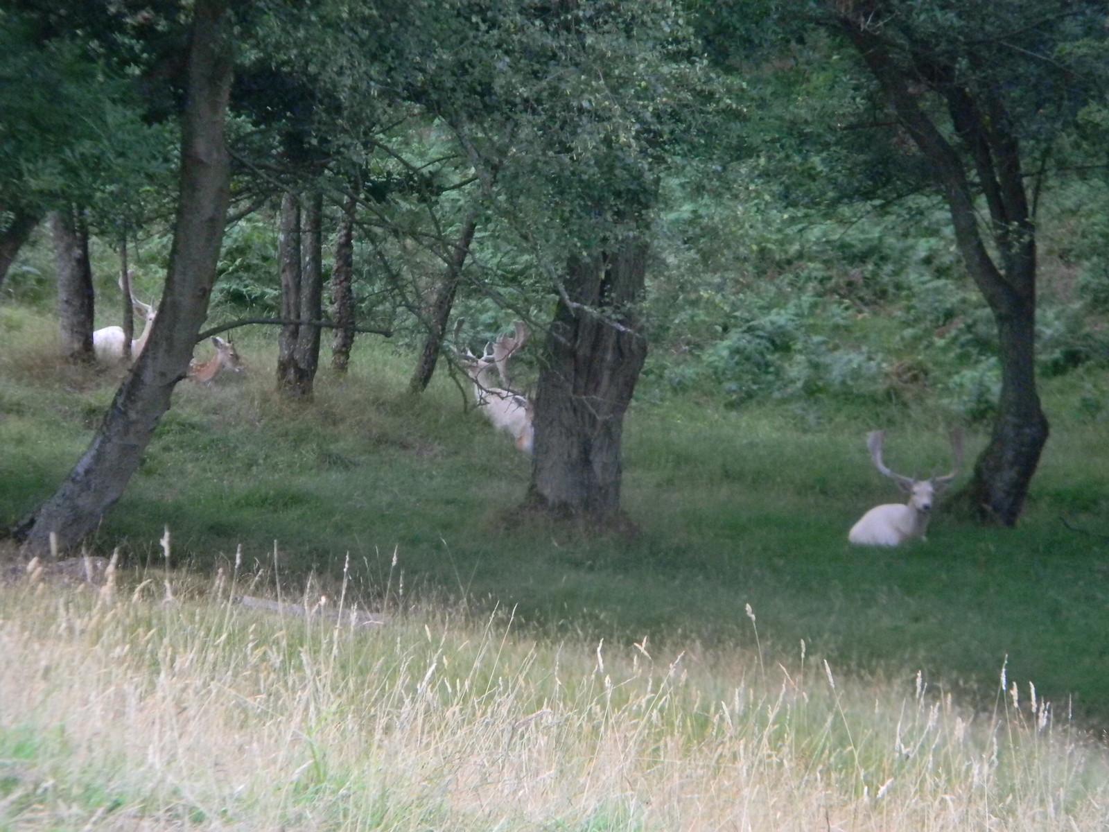 White deer Wadhurst Circular Wadhurst Park