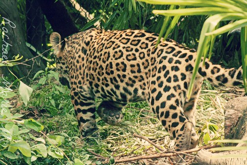 Jaguar Cub Stalking