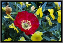 Toowoomba Flowers spotted poppy-1=