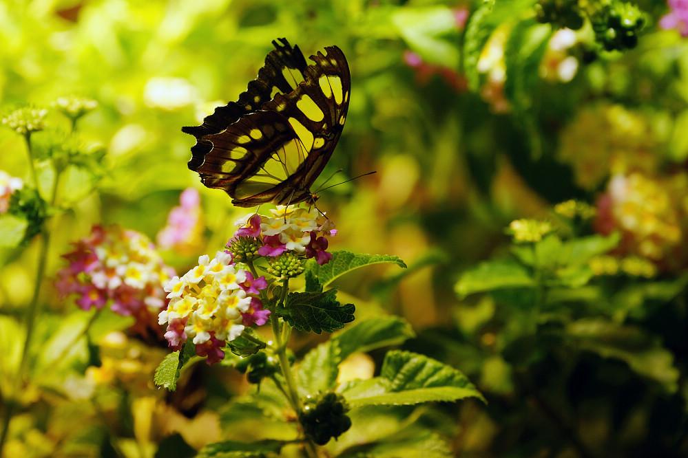 美洲蛺蝶 Siproeta stelenes-4