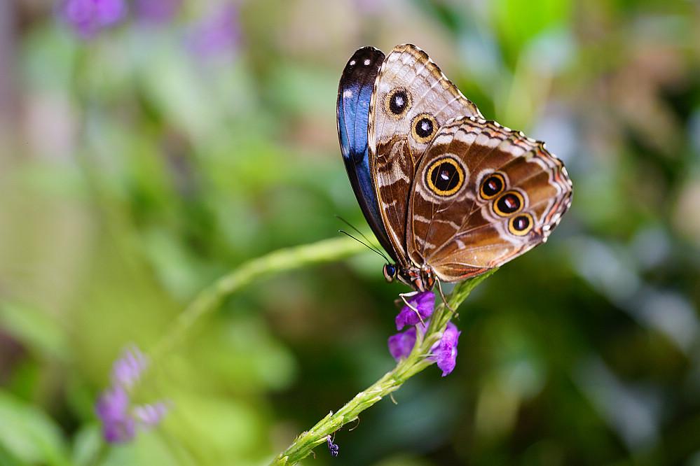 美洲蛺蝶 Morpho peleides-1