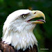 Bald Eagle:  Speed up to 99 mph in dive. by charley4eyes1