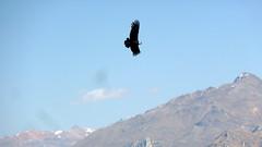 bird of prey, mountain, snow, mountain range, summit, flight, condor, mountainous landforms,