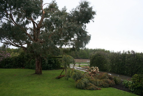 2013-10-14 - Wind damage - Eucalyptus branch