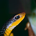 Machete Savane Snake (Chironius carinatus) ©berniedup