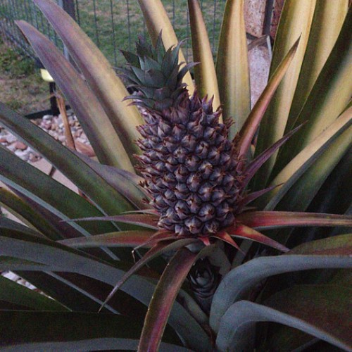 #fmsphotoaday {something beginning with P} a pineapple prime for picking!