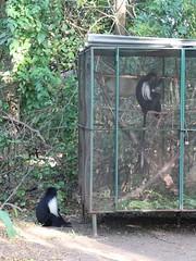 野生疣猴群體來探望因傷被收容的疣猴,許惠婷攝