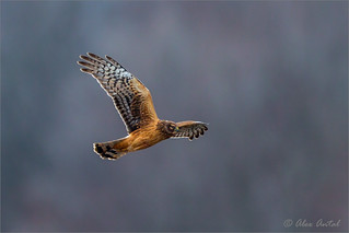 Northern_Harrier (F)