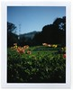 Flowers in Golden Gate Park by Polaroid SF