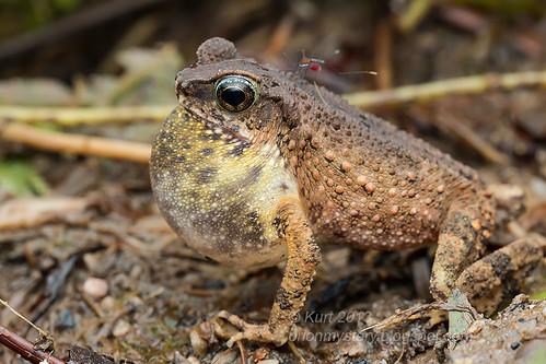 Lesser Stream Toad (Ingerophrynus parvus) IMG_0115 copy