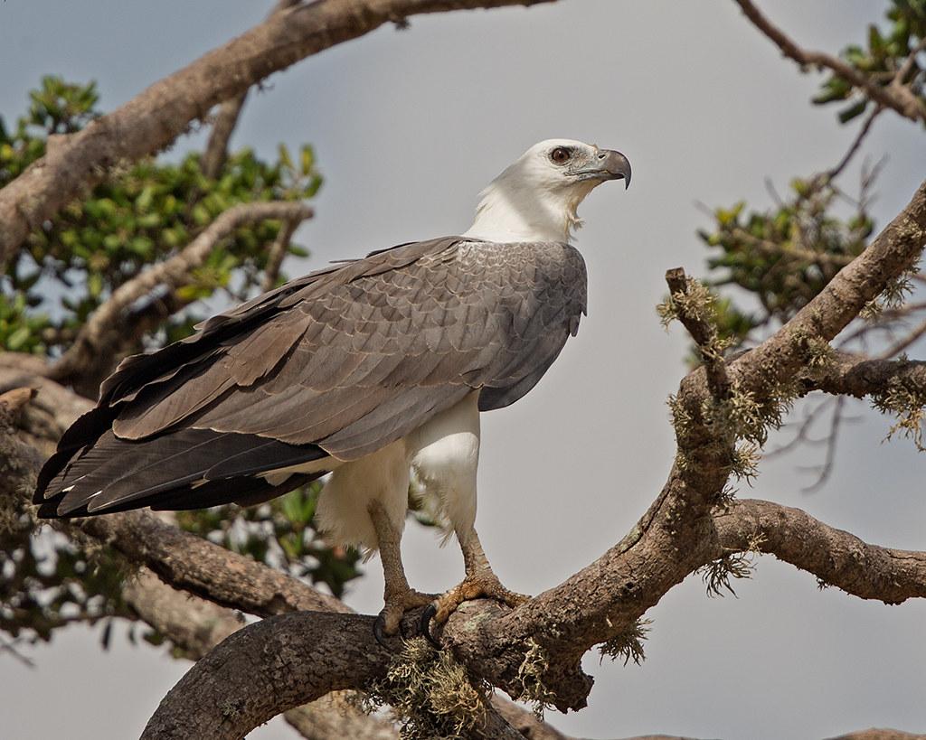 White Bellied Sea Eagle  Sri Lanka 2013-11-27