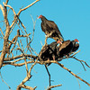 Turkey Vultures (1 of 1)-7