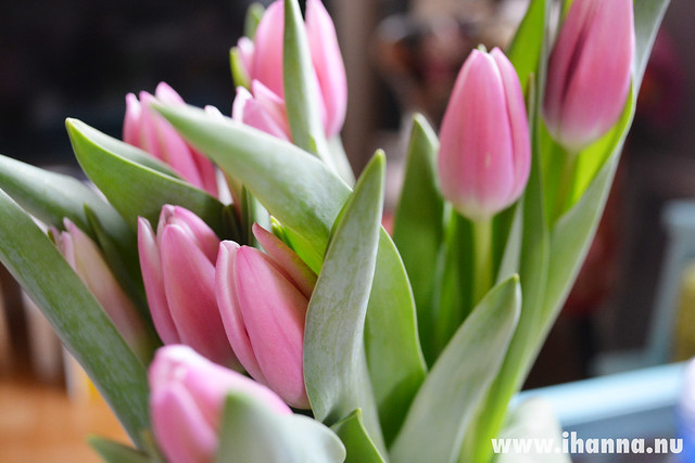 Pink tulips march 2014