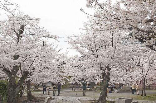 【写真】桜 : 立本寺
