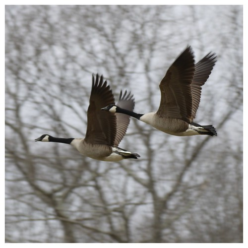 Geese in Flight 2