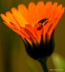 Field Marigold with Spotted Cucumber Beetle