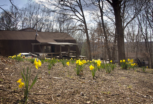 Winery Daffodils 1