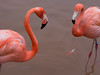 Flamingo by LeonChiu-Photo-888