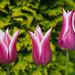 Tulip 'Ballade' and dew drops by Four Seasons Garden