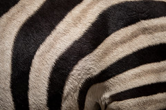 textile(0.0), wool(0.0), clothing(0.0), flooring(0.0), fur(1.0), brown(1.0), zebra(1.0), white(1.0), close-up(1.0), black(1.0),