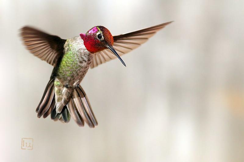 Anna's Hummingbird 270514