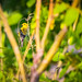 Goldfinch by ash2276