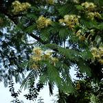 Albizia chinensis flowers