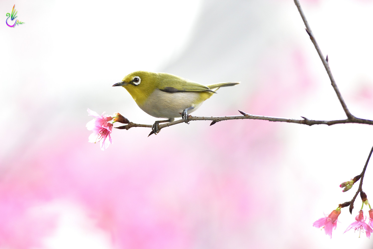 Sakura_White-eye_7980