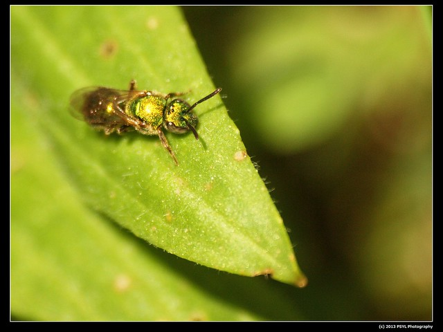 Metallic Green Bee (Genus Agapostemon)