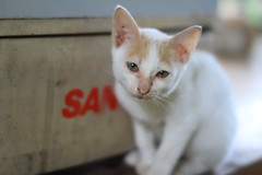 animal, khao manee, small to medium-sized cats, pet, burmilla, cat, carnivoran, whiskers, domestic short-haired cat,