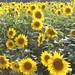 Sunflowers by CarmineMedia