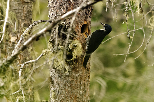 Daks: Blackbacked Woodpecker