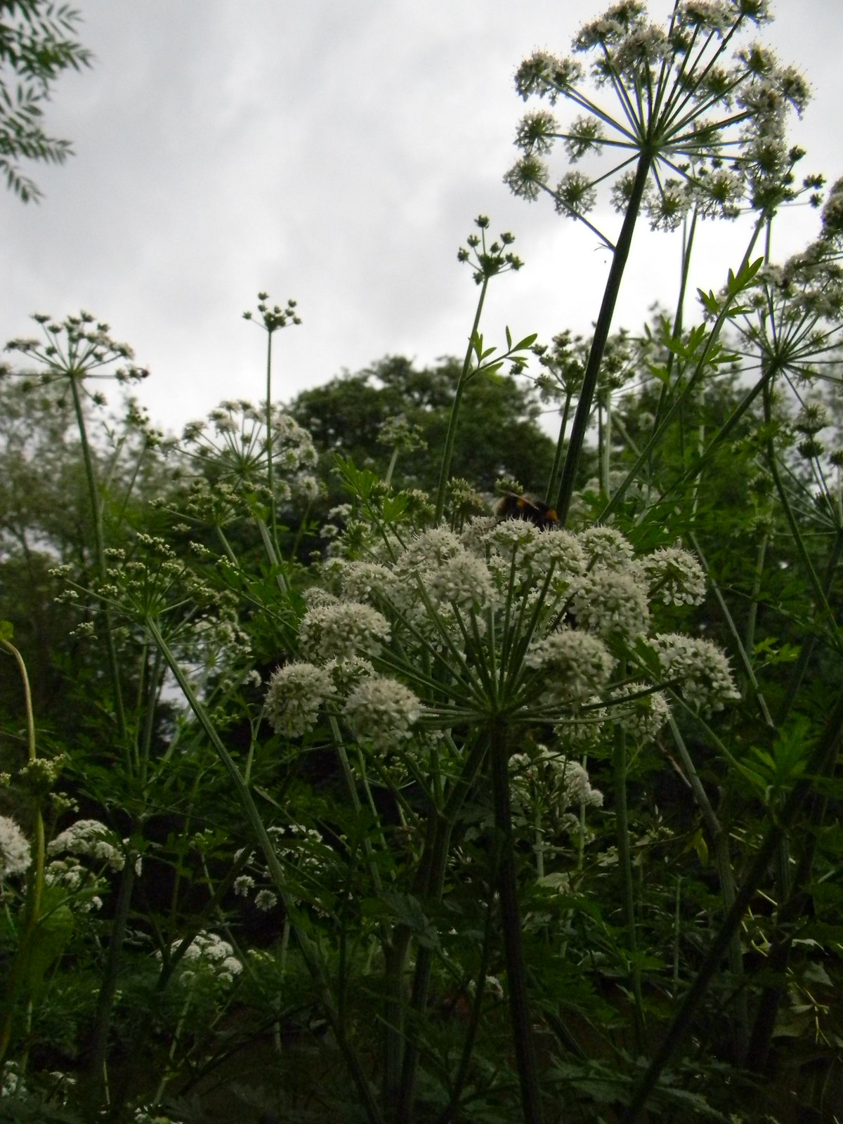 Hemlock Water Dropwort Britains most poisonous plant. Plenty along the Wey. Guildford Circular